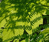 Fern shadows in the rain forest, Alaska, #0412