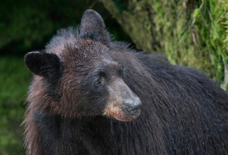 Black bear after a salmon dinner at Anan Creek , Alaska, #0444
