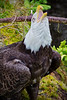 Alaskan bald eagle, #0443