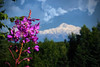 Mount McKinley from the tiaga to the south, and a fireweed, #0470.