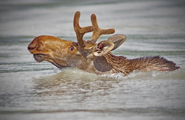 Moose comes out of the water near Wrangell, AK, #0416