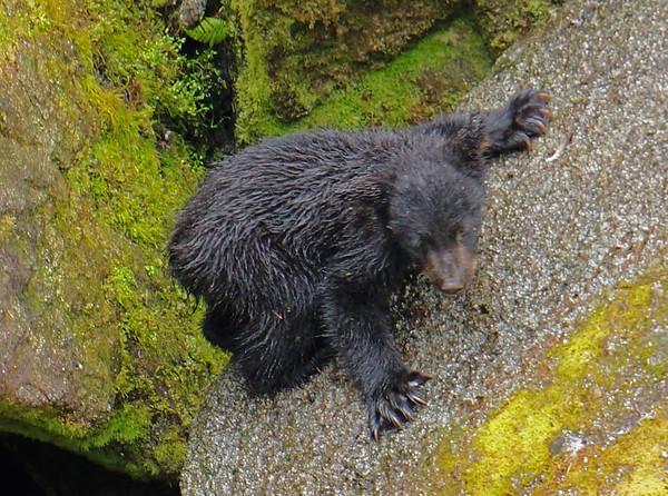 Black bear cub learning to climb, Anan Creek, AK, #0405