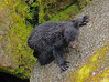 Black bear cub learning to climb, Anan Creek, AK, #0405