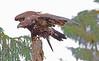 Juvenile Alaskan bald eagle, #0381