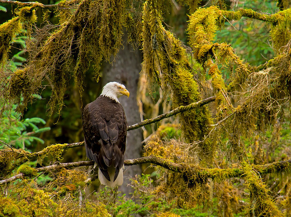 Alaskan bald eagle, #0379