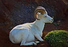 Dall Sheep in Denali, Alaska, #0429
