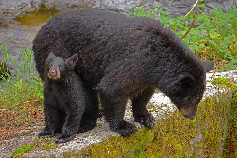 Black bears - cub and sow, Anan Creek, Alaska, #0387