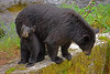 Black bears - cub and sow, Anan Creek, Alaska, #0387