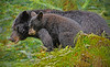Black bear sow and cub, Alaska, #0385