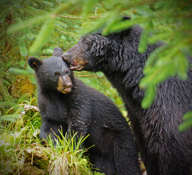 Black bear sow and cub, Alaska, #0384