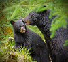Black bear sow and cub, Alaska, #0384