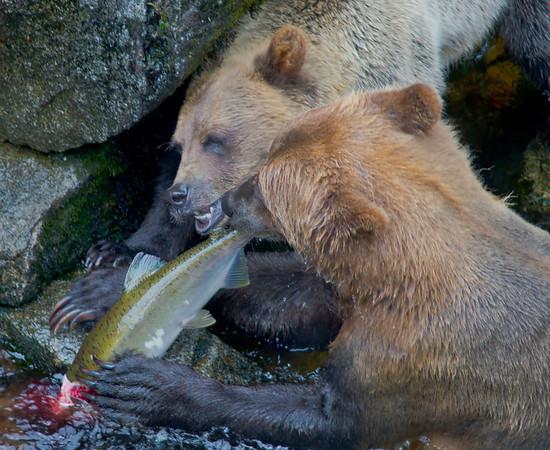 Grizzly bears sharing salmon dinner, AnanCreek , Alaska, #0448