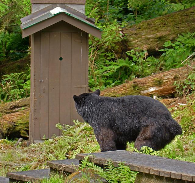 Black bear joining spectator at the outhouse at Anan Creek, Alaska, #0404