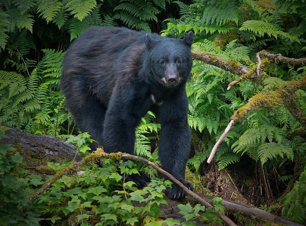 Black bear fishing for salmon, Anan Creek , Alaska, #0398