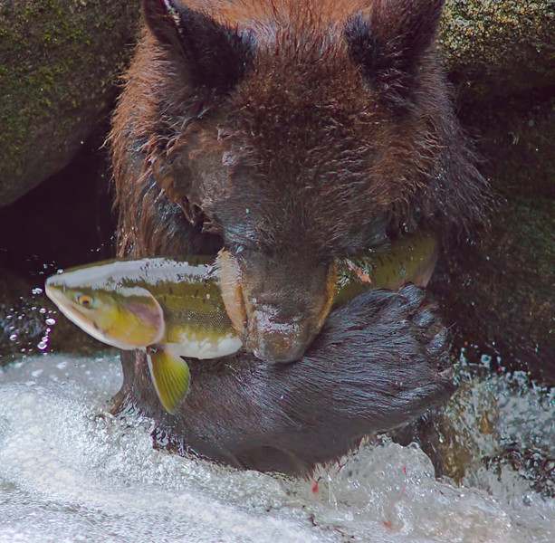 Just lunch ... a black bear cuddles her salmon at Anan Creek, Alaska, #0391
