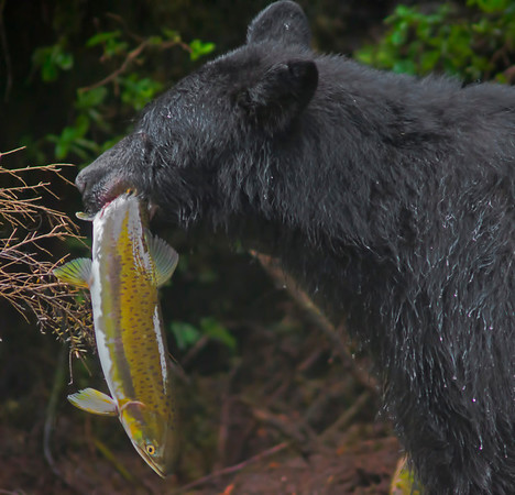 Black bear fishing for salmon, Anan Creek, Alaska, #0388