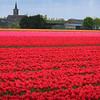 Tulip Fieids near Lisse