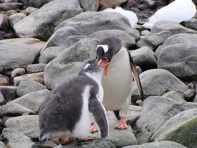 Gentoo Penguin Feeding Chick (Pygoscelis papua)