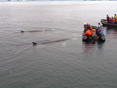 Southern Minke Whale (Balaenoptera bonaerensis)