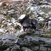 Imperial Shag (Phalacrocorax atriceps)