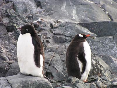 Adelie and Gentoo Penguins