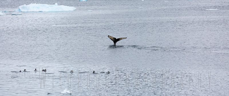 Humpback whale and penguins