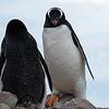 Back and front view of Gentoo Penguins