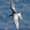 Antarctic Tern<br /> Antarctic Tern flying over New Zealand's subantarctic Campbell Island