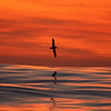 Albatross at sunset<br /> Red sky of sunset reflecting in the Southern Ocean as an Albatross flew by