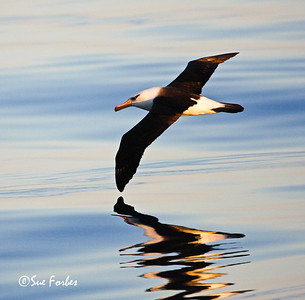 Repeat reflections Campbell Albatross reflection in the calm Southern Ocean seas at sunset