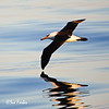 Repeat reflections<br /> Campbell Albatross reflection in the calm Southern Ocean seas at sunset