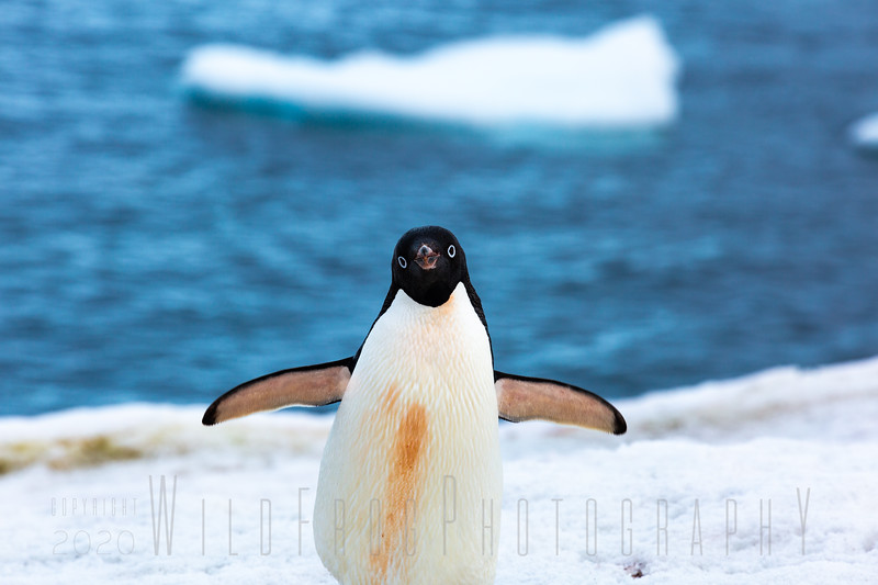 Adelie Penguin coming ashore