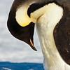 Emperor Penguin<br /> Emperor Penguin at Cape Evans, Ross Island, Antarctica