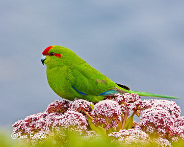 Red Crowned Parakeet Red Crowned Parakeet sitting on the flowers of the megaherb Anisotome Latifolia  Enderby Island
