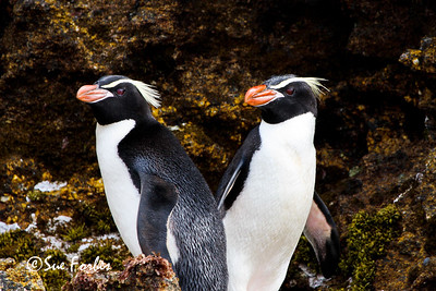 Snares Penguins Snares Penguins on New Zealands sub-antarctic Snares Island