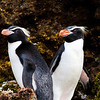 Snares Penguins<br /> Snares Penguins on New Zealands sub-antarctic Snares Island
