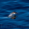 Gentoo Penguin flying