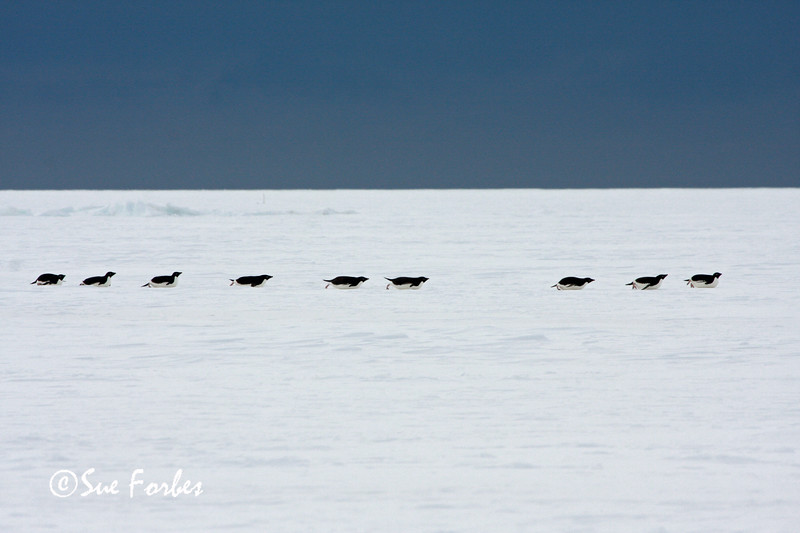 Efficient locomotion<br /> Adelie Penguins sliding across the Sea Ice, Ross Sea, Antarctica