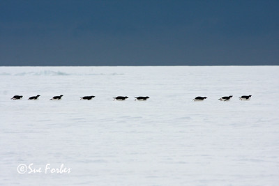 Efficient locomotion Adelie Penguins sliding across the Sea Ice, Ross Sea, Antarctica