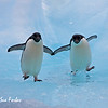 Adelie penguin ice dance