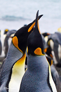 King Penguins King Penguins courting on Australia's sub-antarctic Macquarie Island