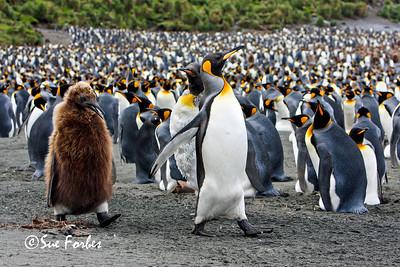 Adult & Adolescent King Penguins Adult and adolescent King Penguins on Macquarie Island, one Australia's sub-Antarctic islands.