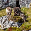 Arctic fox kits (alopex lagopus) playing while their parents are away hunting, Alkhornet, Spitsbergen