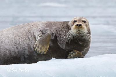 Bearded Seal (erignathus barbatus), St Jons Fjord, Spitsbergen, Norway