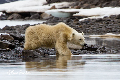Polar Bear (Ursus maritimus) checking out a seal on the ice