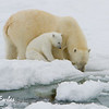 Mother polar bear (ursus maritimus) drinking with her cub on the pack ice, Svalbard, Norway