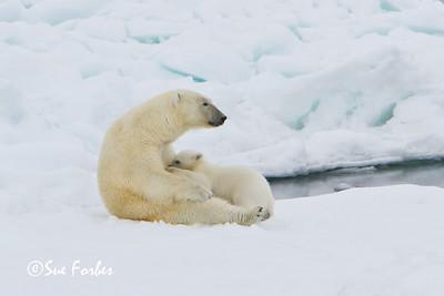 Polar Bear (ursus maritimus) mother nursing her cub on the pack ice, Svalbard, Norway