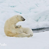 Polar Bear (ursus maritimus) mother nursing her cub on the pack ice, Svalbard, Norway