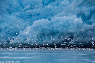 Kittiwakes by glacier