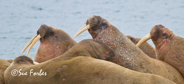 Walruses (odobenus rosmarus) at Poolepynten, Prins Karls Forland, Svalbard